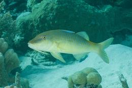 Image of Goldsaddle goatfish