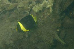 Image of <i>Chaetodontoplus meredithi</i> Kuiter 1990
