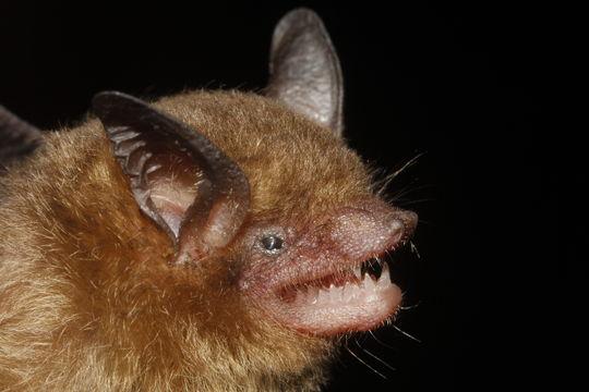 Image of Yucatan Yellow Bat
