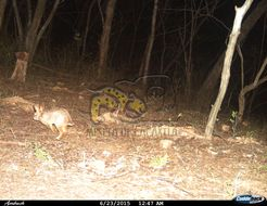 Image of Mexican Cottontail