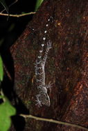 Image of Banded Forest Gecko