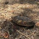 Image of African pancake tortoise