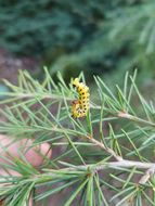 Image of Red-headed Pine Sawfly