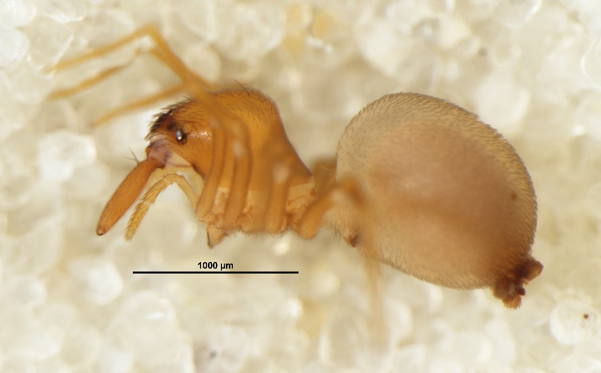 Image of <i>Zearchaea fiordensis</i> Forster 1955