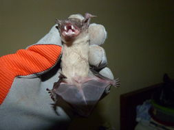 Image of White-bellied House Bat