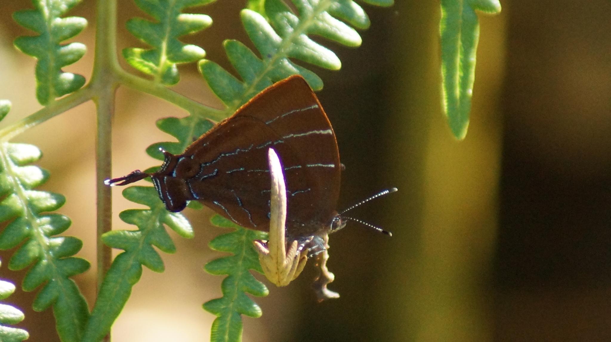 Image of <i>Micandra cyda</i>