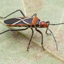 Image of <i>Dysdercus decussatus</i>