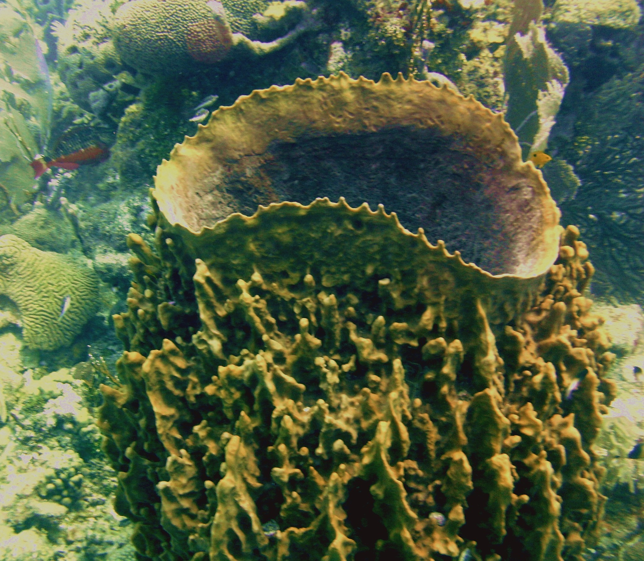 Image of giant barrel sponge