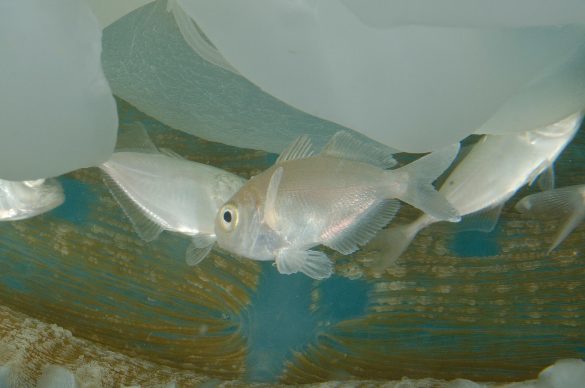 Image of Arafura driftfish