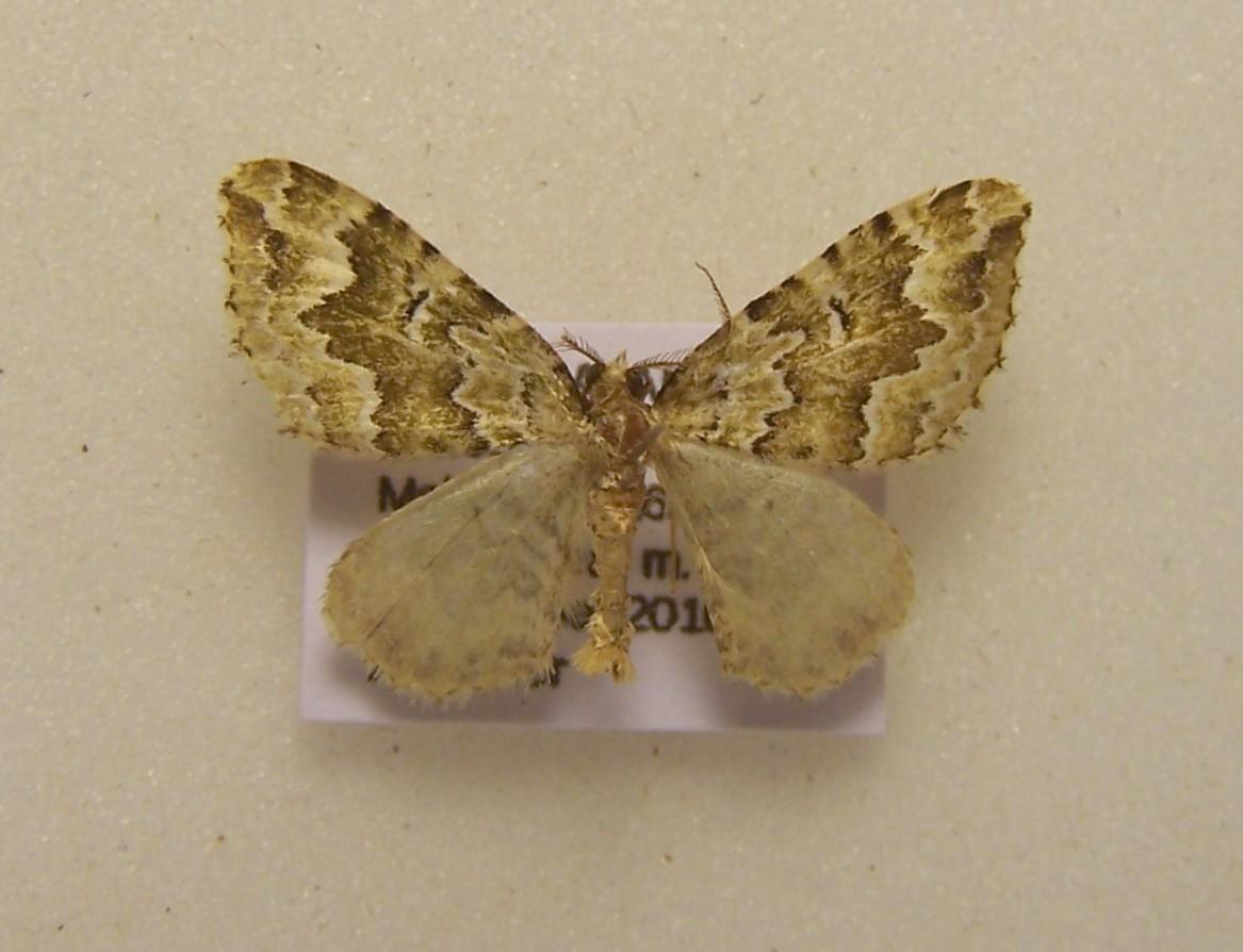 Image of <i>Asaphodes beata</i>