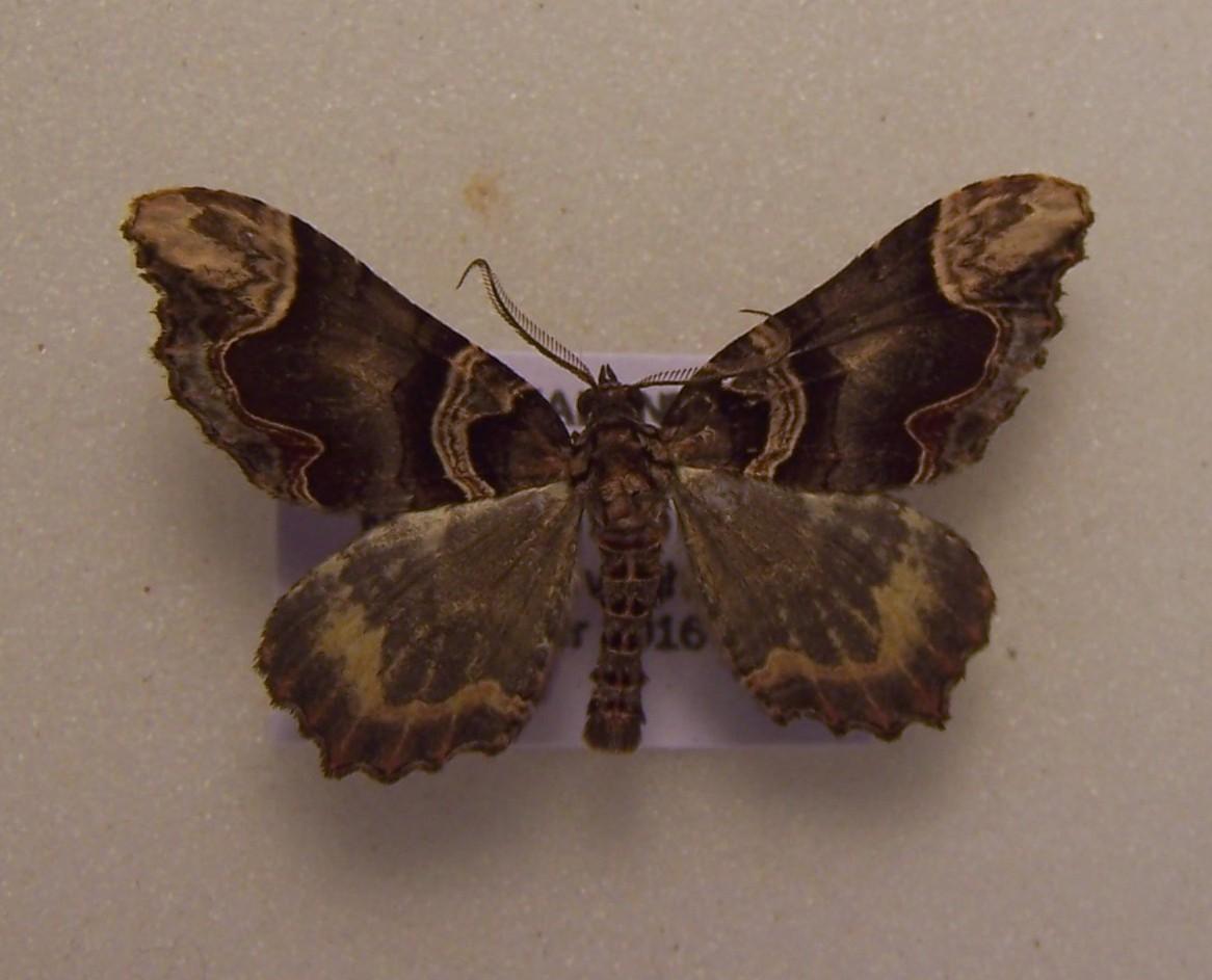 Image of <i>Asaphodes chlamydota</i>