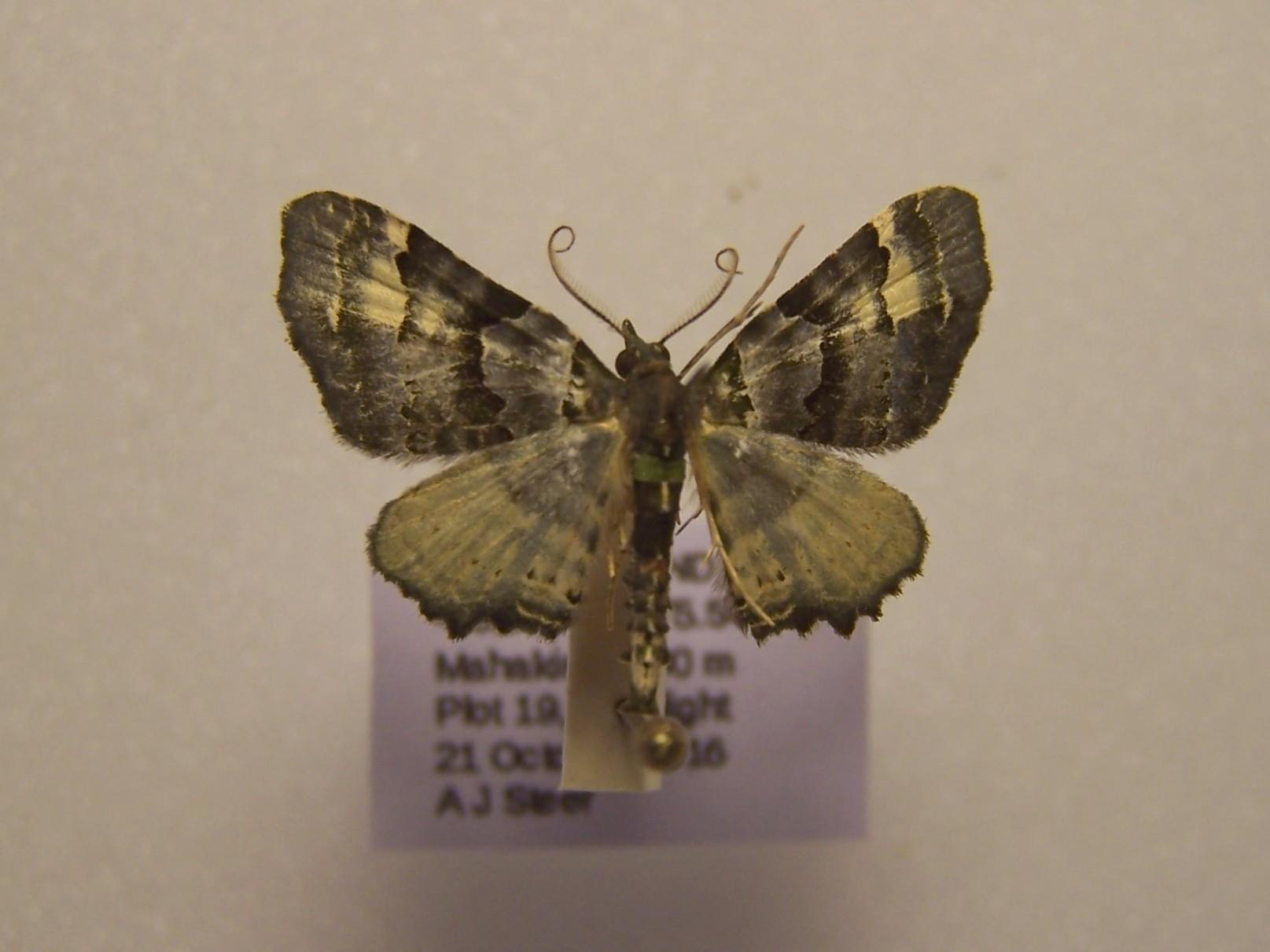 Image of <i>Elvia glaucata</i> Walker 1862