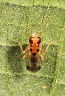 Image of <i>Sobarocephala quadrimaculata</i> Soos 1963