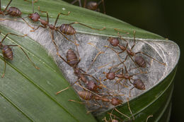 Image of Asian Weaver Ant