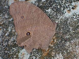 Image of <i>Melanitis <i>leda</i></i> ssp. leda