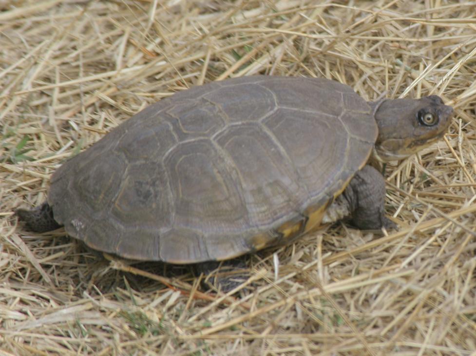 Image of East African Black Mud Turtle