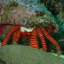 Image of Red and orange banded hermit crab