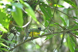 Image of Black-chested Fruiteater