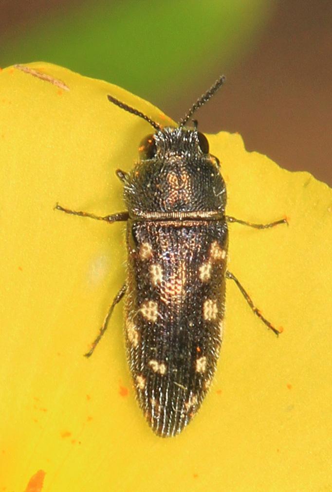 Image of <i>Acmaeodera tubulus</i> (Fabricius 1801)