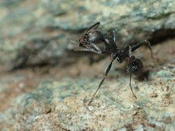 Image of <i>Aphaenogaster spinosa</i> Emery 1878