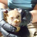 Image of Philippine Tube-nosed Fruit Bat