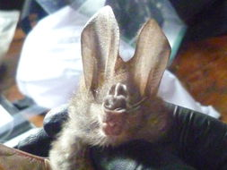 Image of Common Asian Ghost Bat