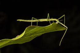 Image of Smooth Stick Insect