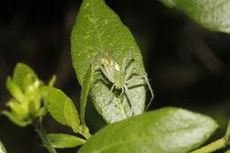 Image of <i>Peucetia longipalpis</i> F. O. Pickard-Cambridge 1902