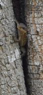 Image of East African spiny-tailed lizard