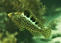 Image of frostback rockcod