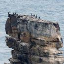 Image of Japanese Cormorant
