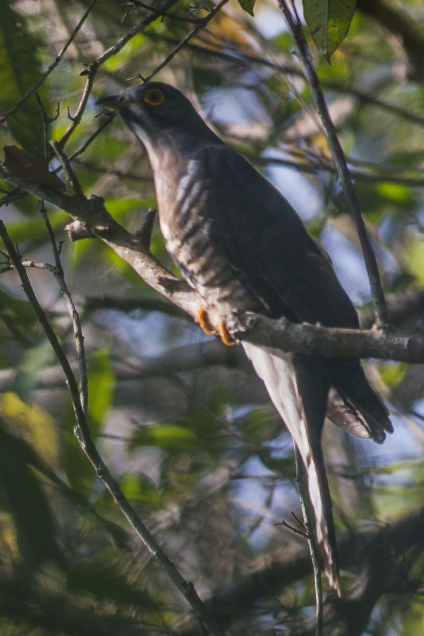 Image of Large Hawk-Cuckoo