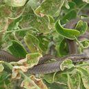 Image of Striped Galapagos Snake