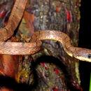 Image of Drapiez's Cat Snake
