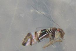 Image of <i>Pentacladus eucalypti</i> Enderlein 1906
