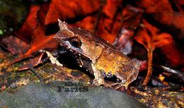 Image of Horned Frog