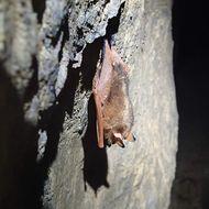 Image of <i>Myotis formosus</i> (Hodgson 1835)