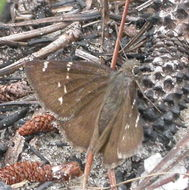 Image of Confused Cloudywing