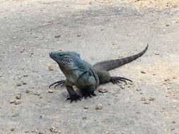 Image of Blue Iguana