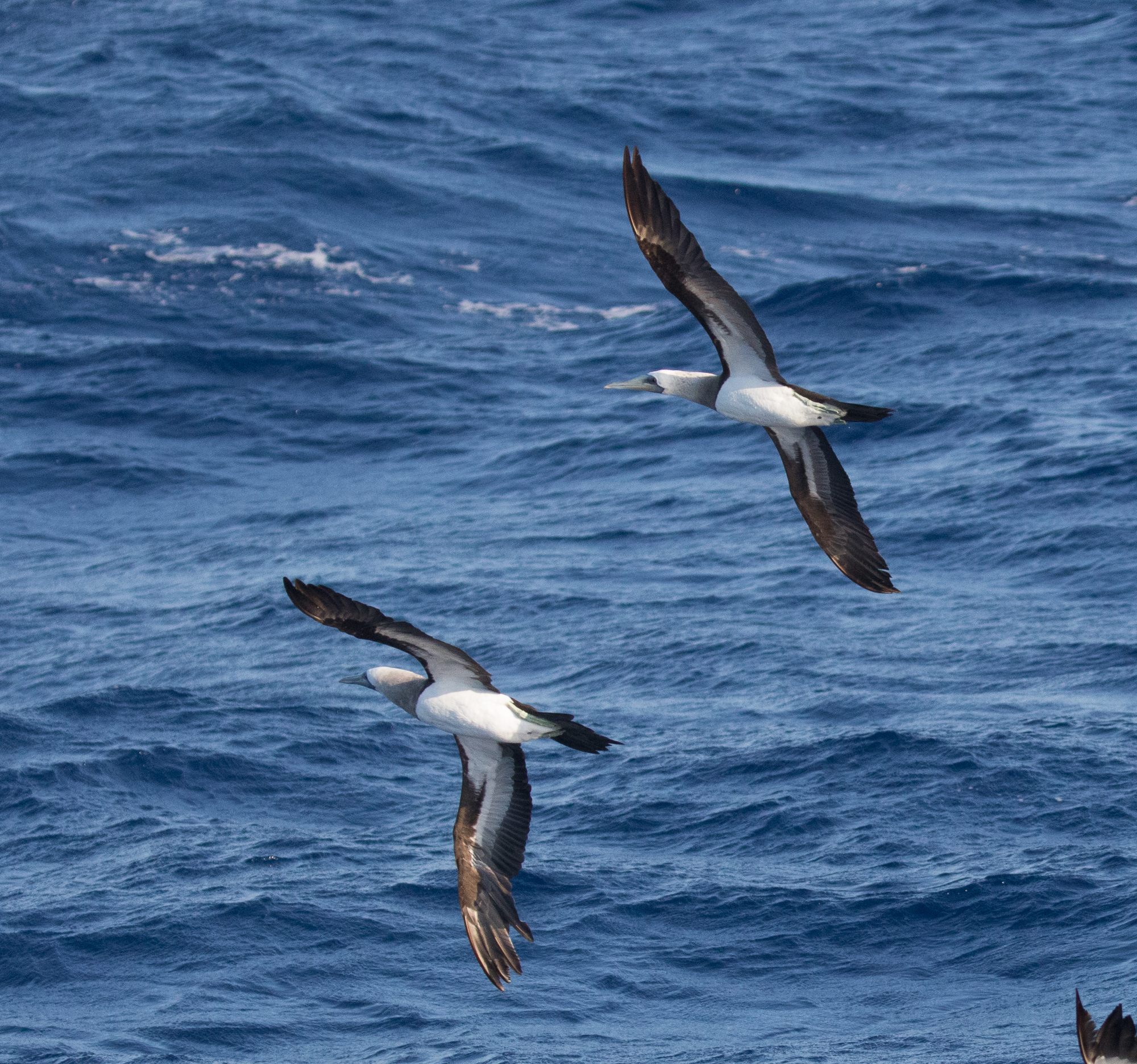 Image of Brewster's Brown Booby