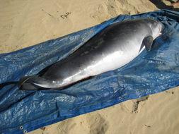 Image of Pygmy Sperm Whale