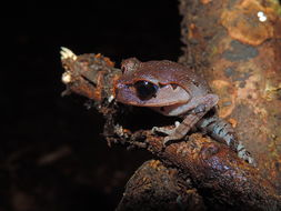 Image of Hasselt's Litter Frog