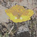 Image of <i>Papaver nudicaule americanum</i>