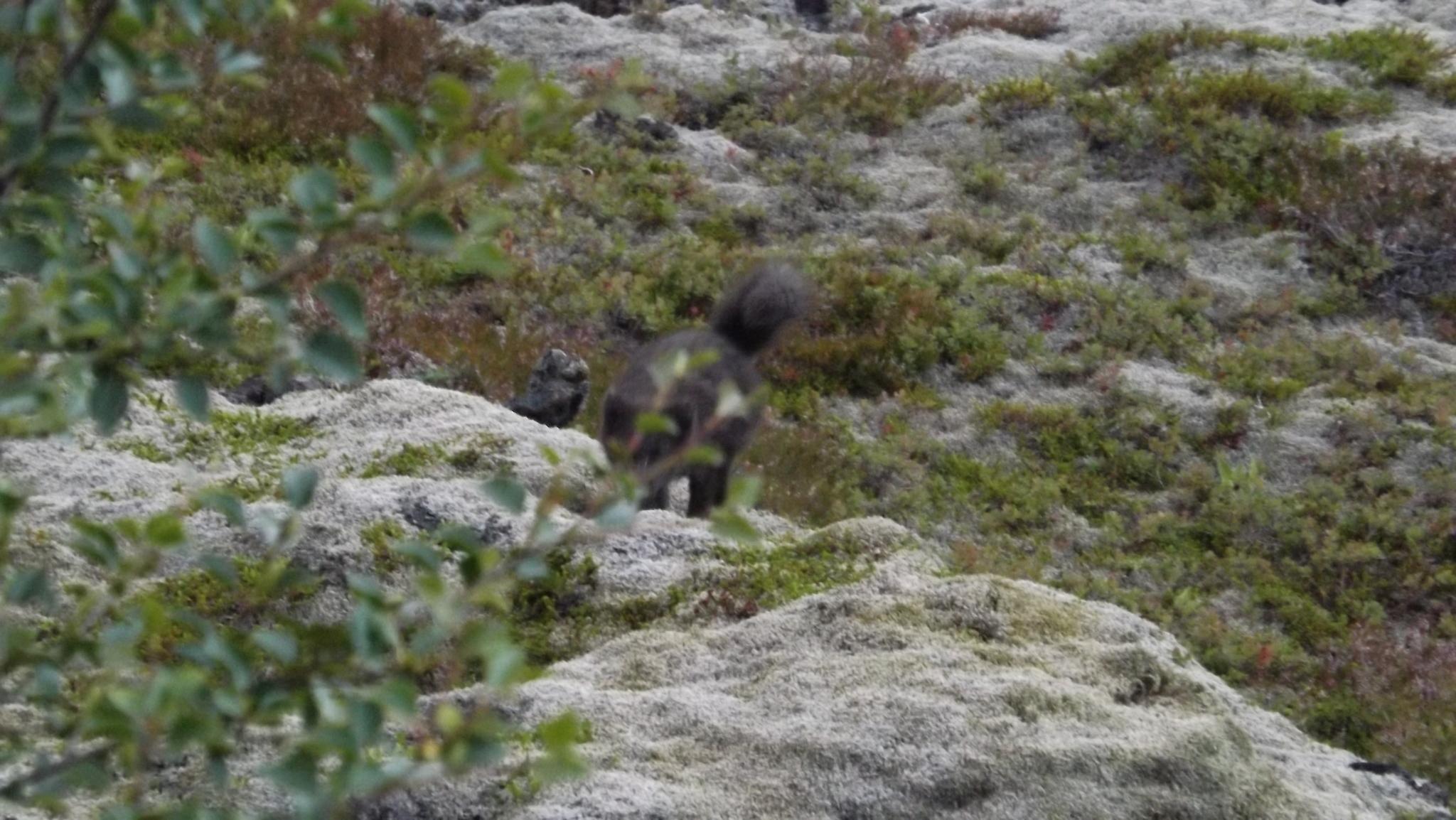 Image of Arctic Fox