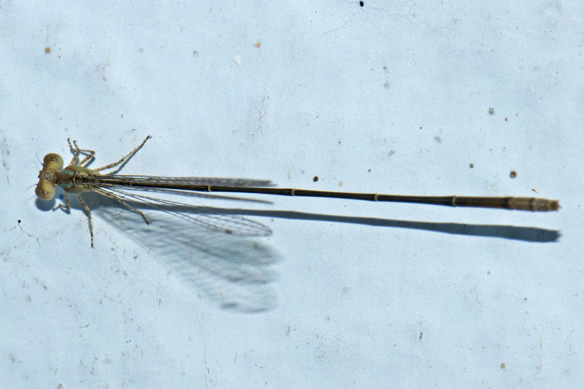 Image of <i>Aciagrion pallidum</i> Selys 1891