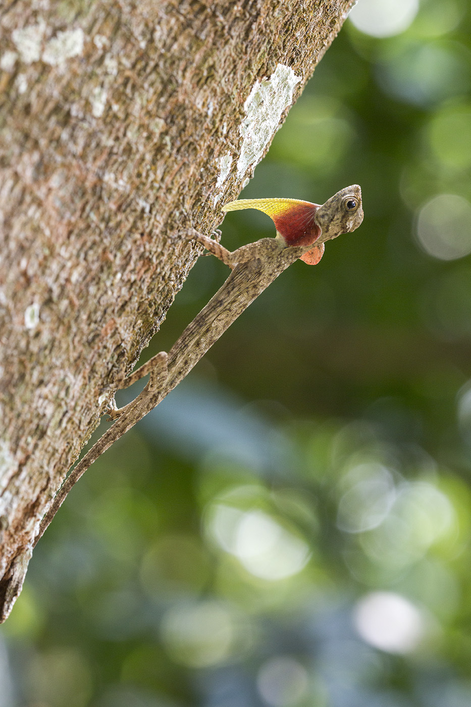 Image of Thai Flying Dragon