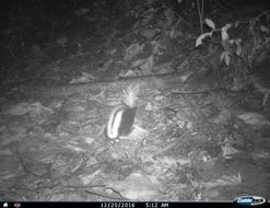 Image of Amazonian Hog-nosed Skunk