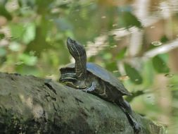 Image of Hispaniolan Slider Turtle