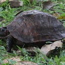 Image of Spiny hill turtle