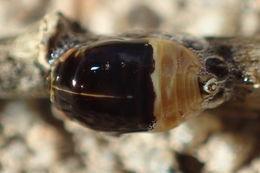 Image of <i>Clastoptera juniperina</i>